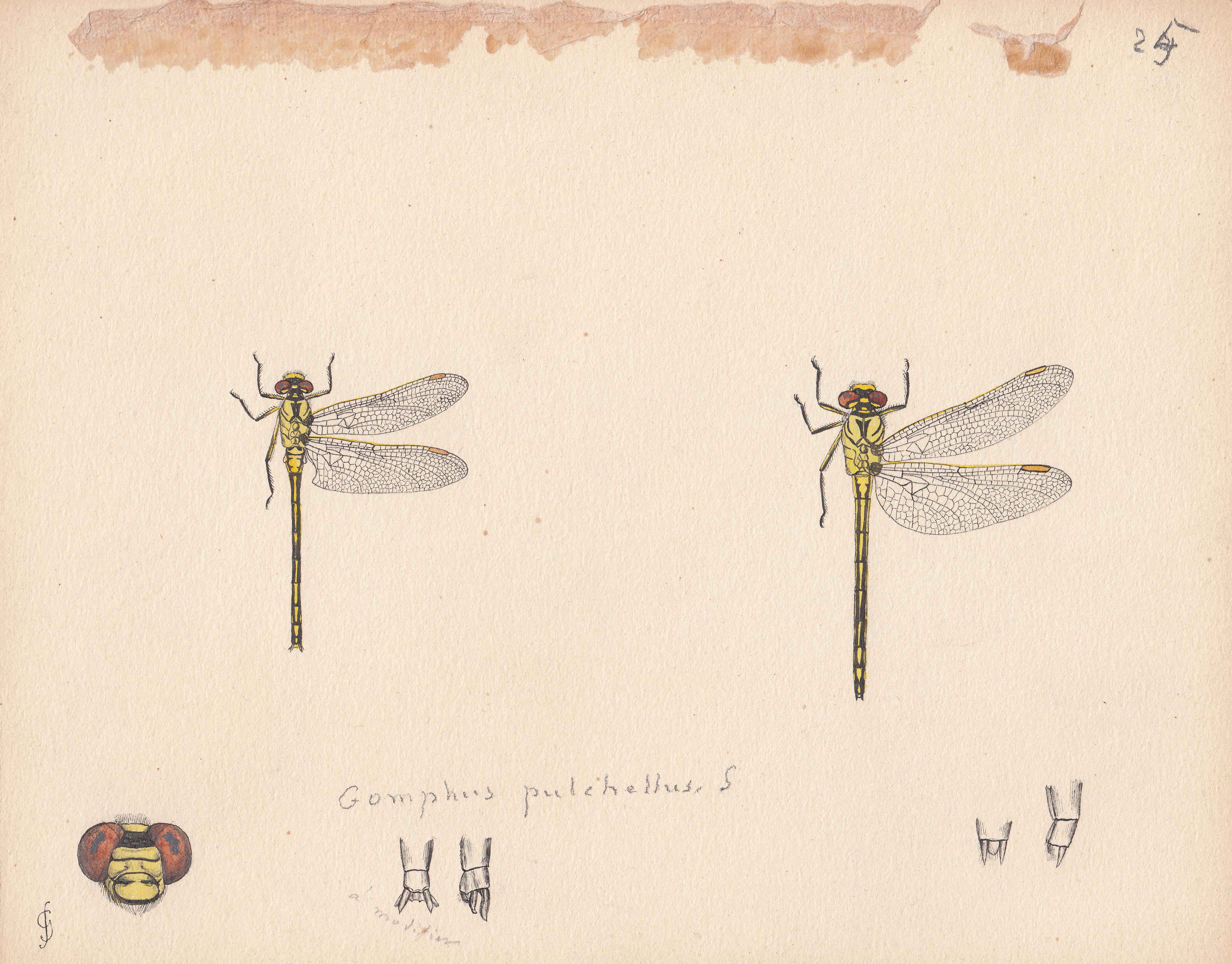 Gomphus pulchellus.jpg