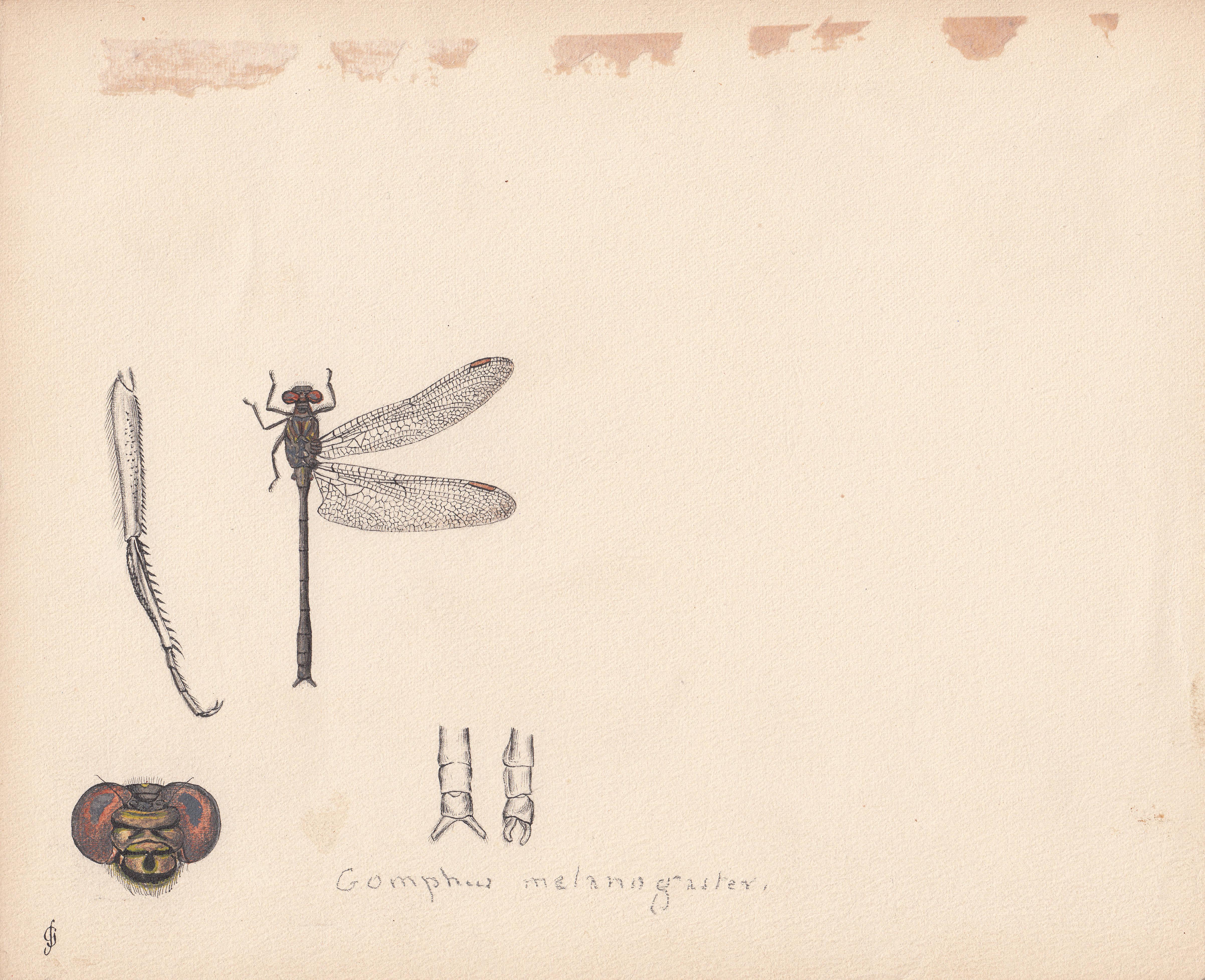 Gomphus melanogaster.jpg