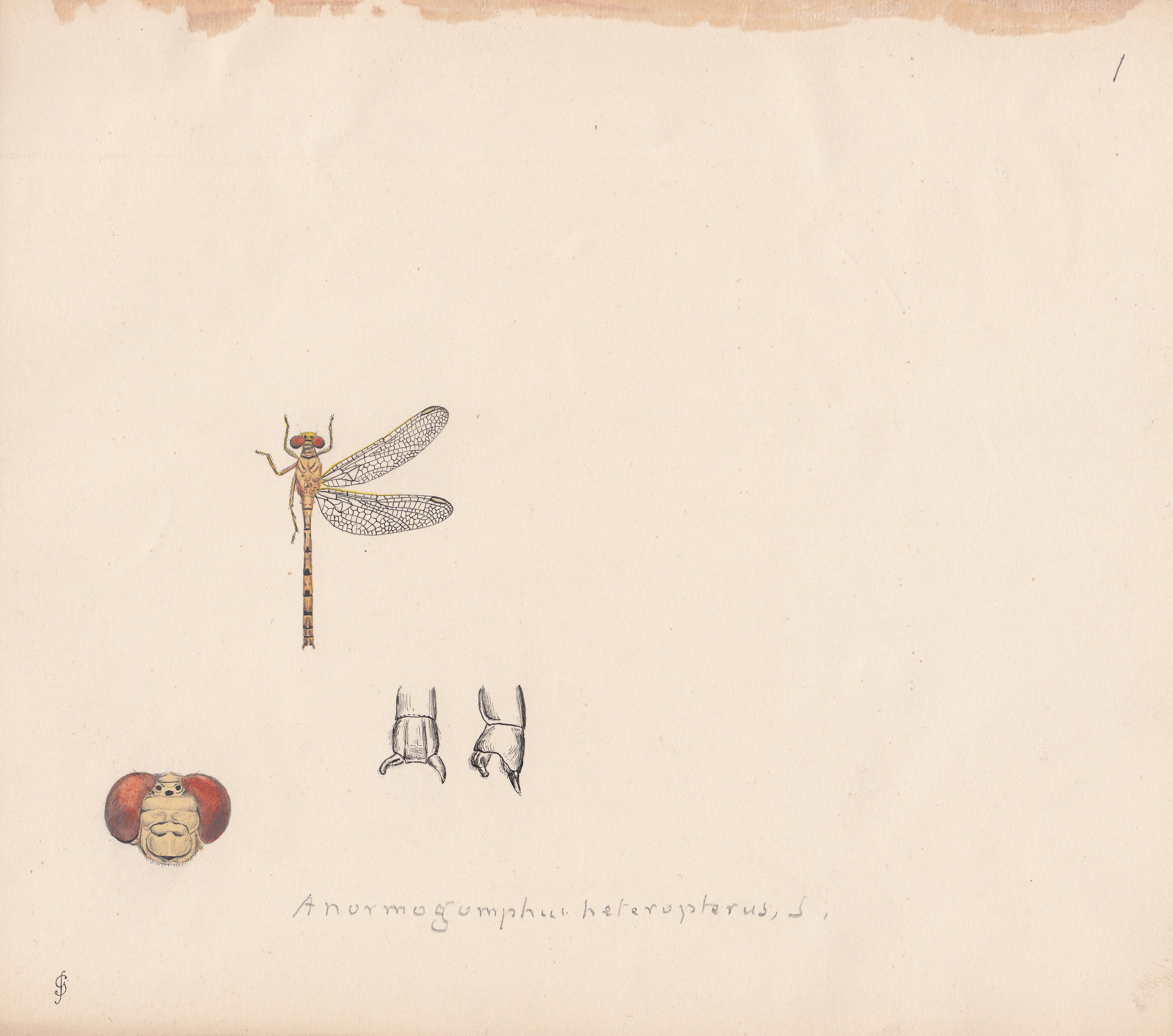 Anormogomphus heteropterus.jpg