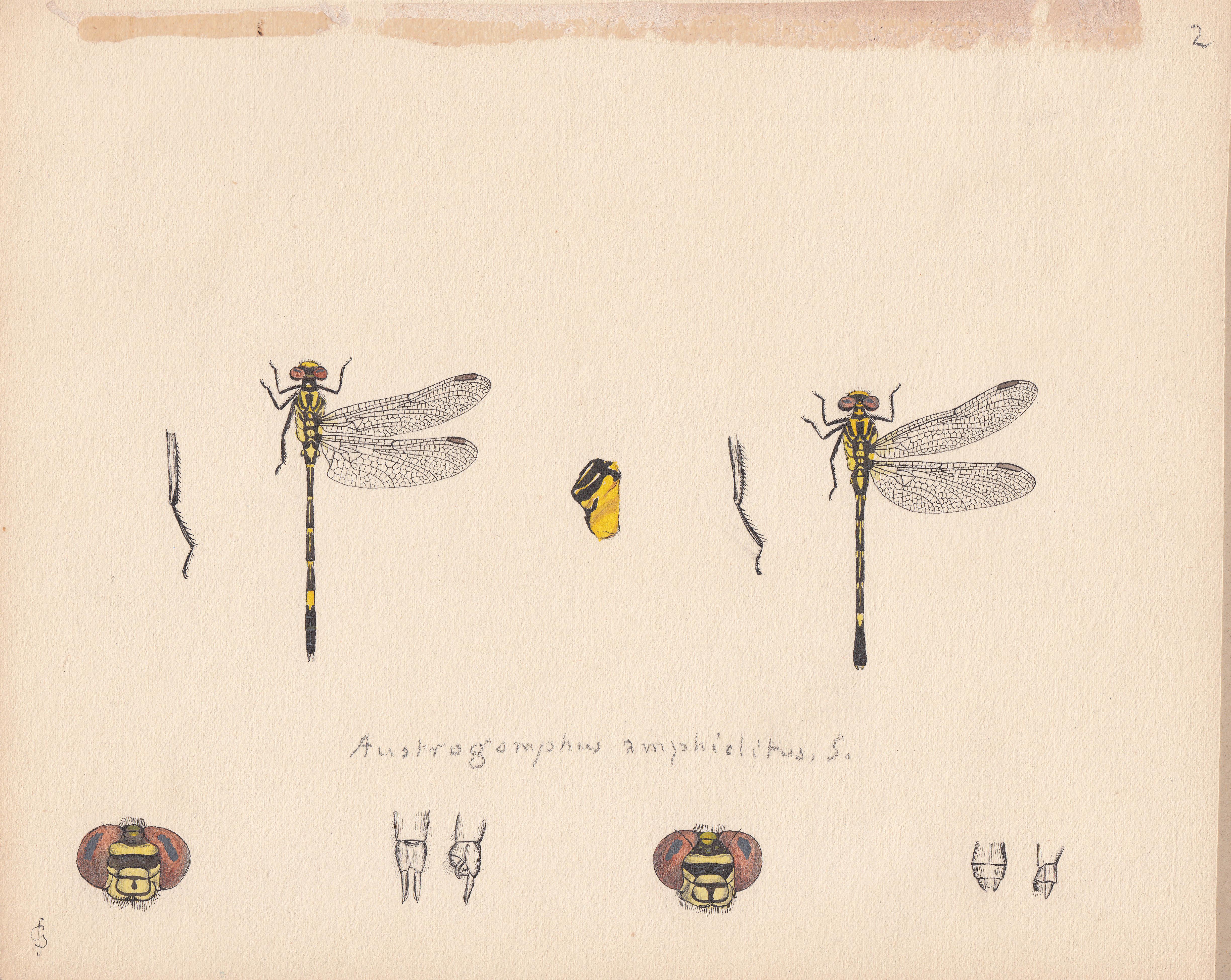 Austrogomphus amphiclitus.jpg