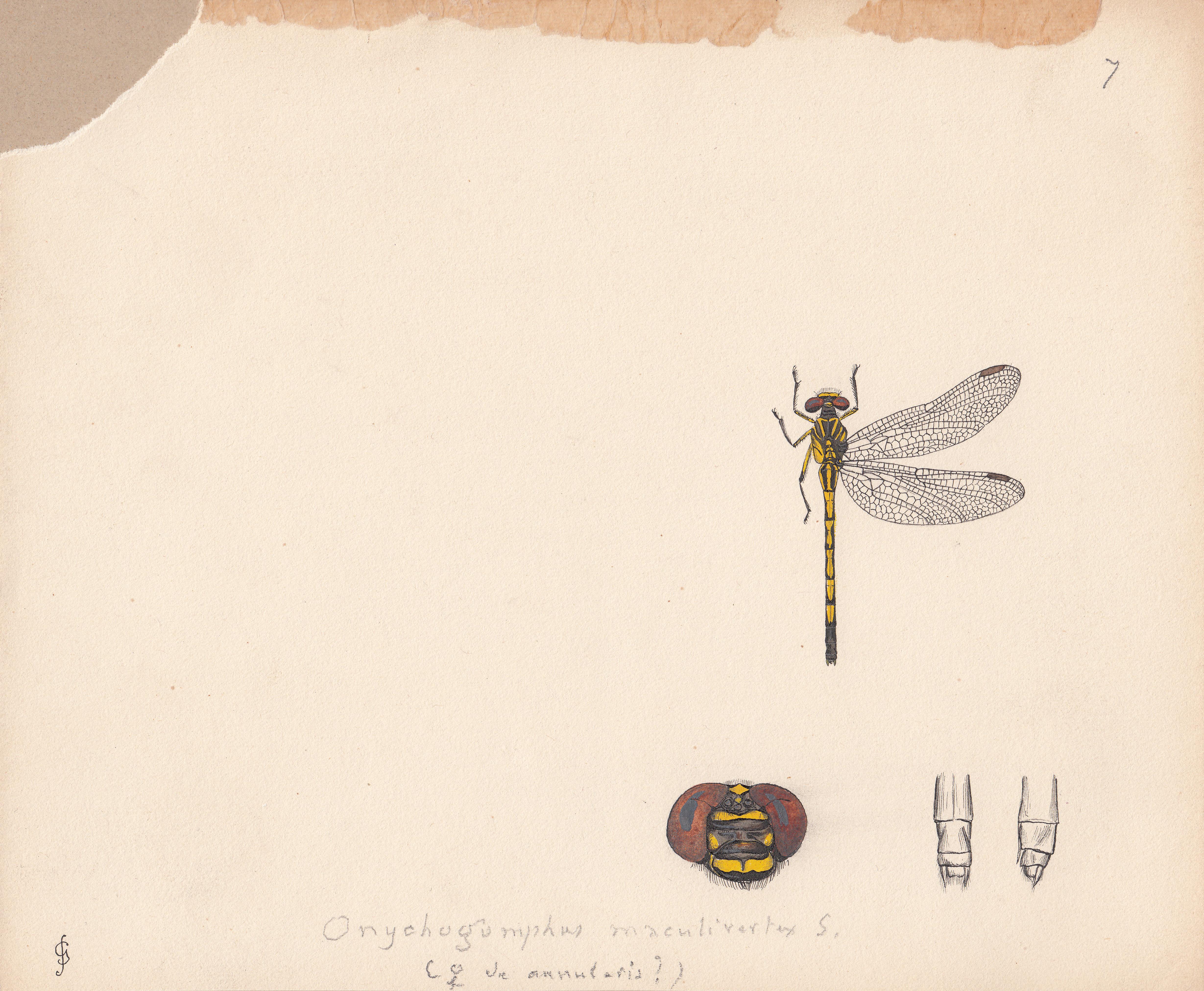 Onychogomphus maculivertex.jpg