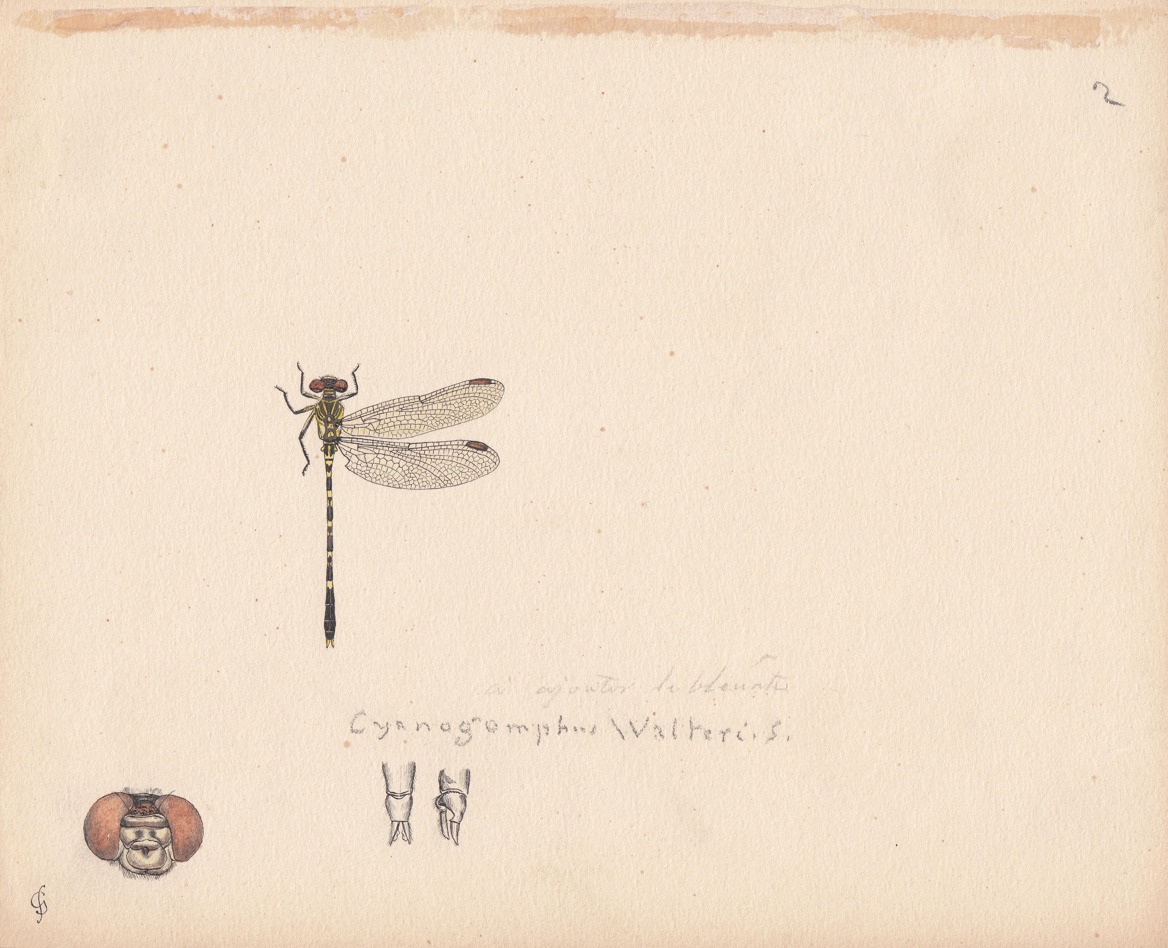 Cyanogomphus walteri.jpg