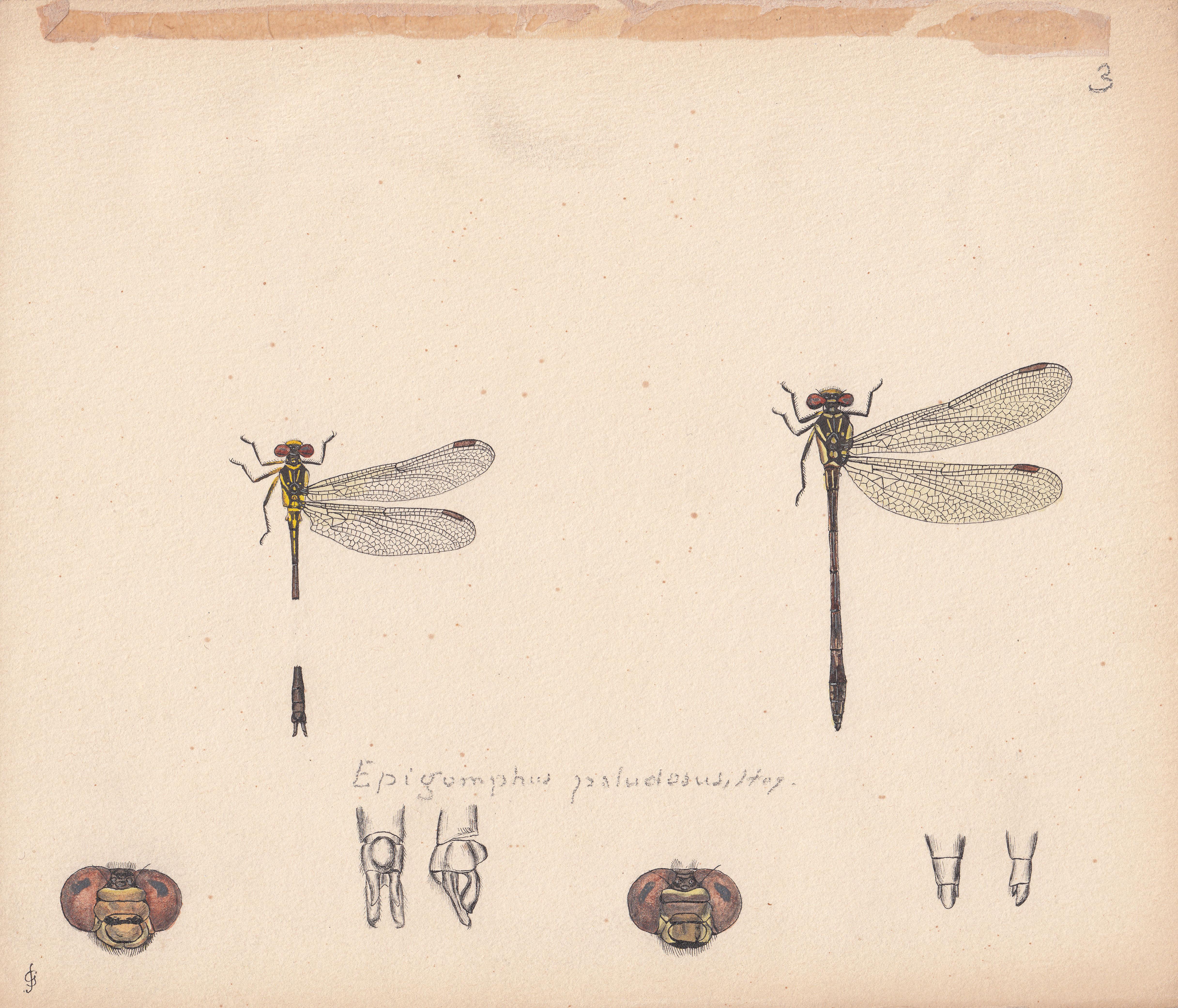 Epigomphus paludosus.jpg