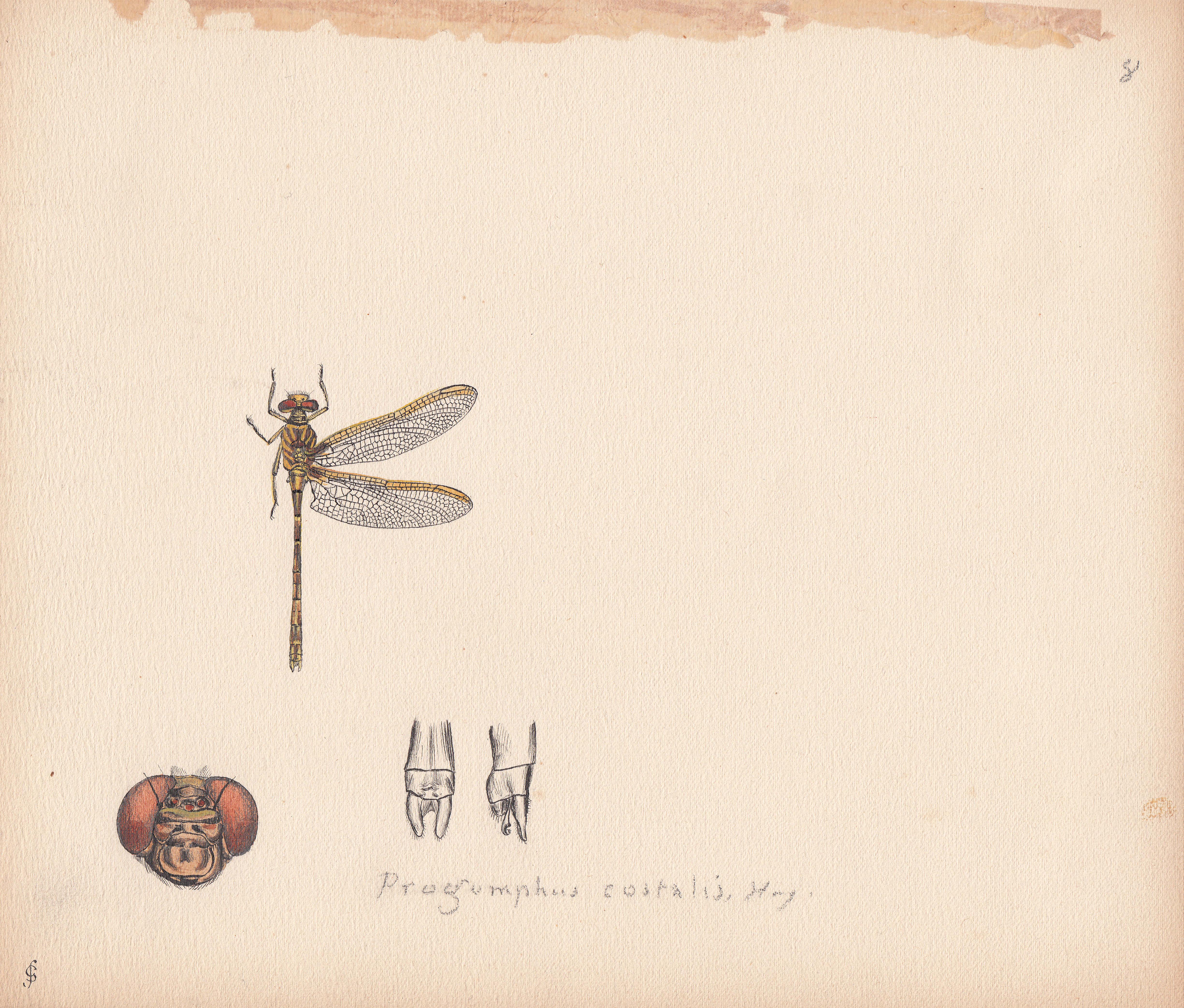 Progomphus costalis.jpg