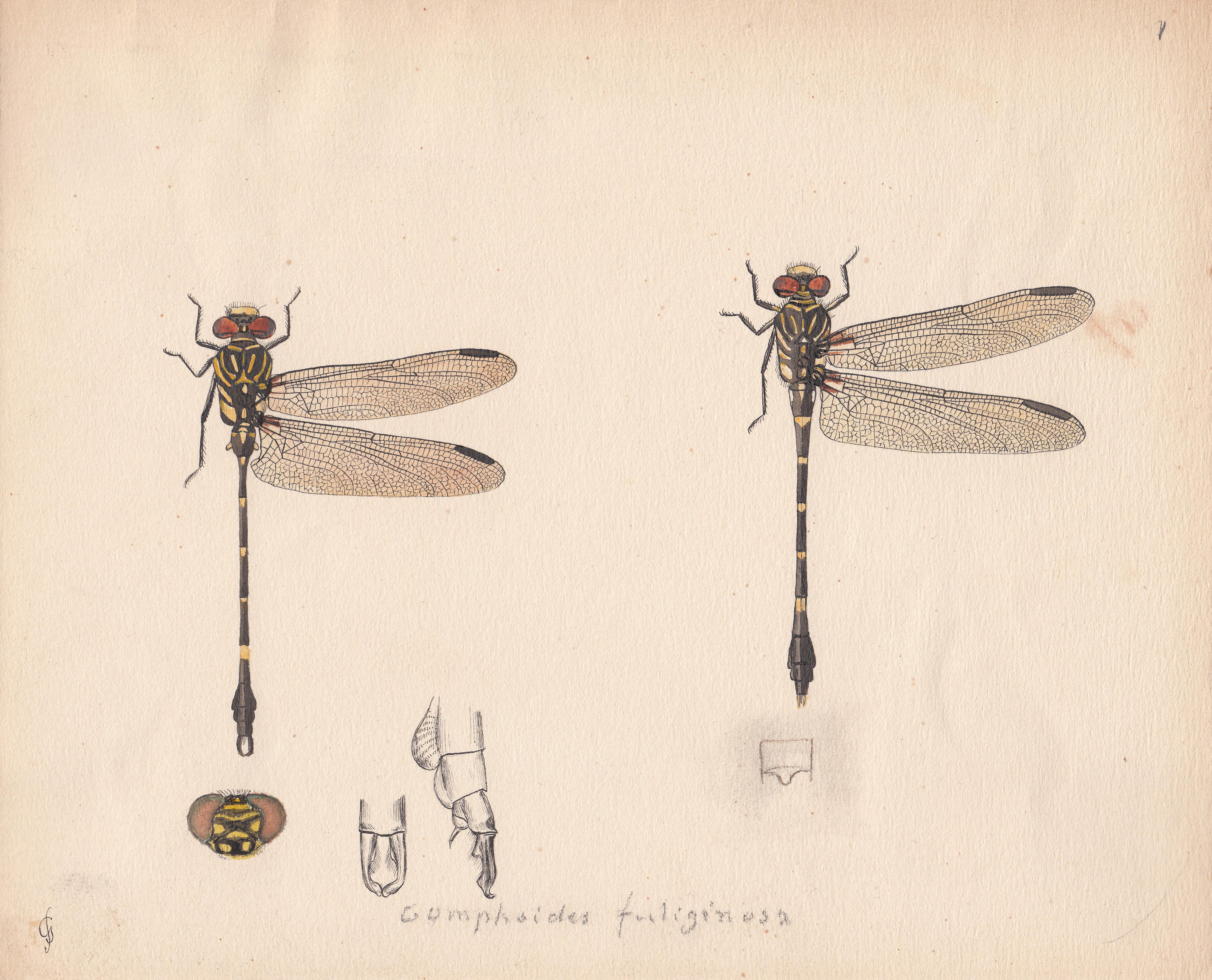 Gomphoides fuliginosa.jpg