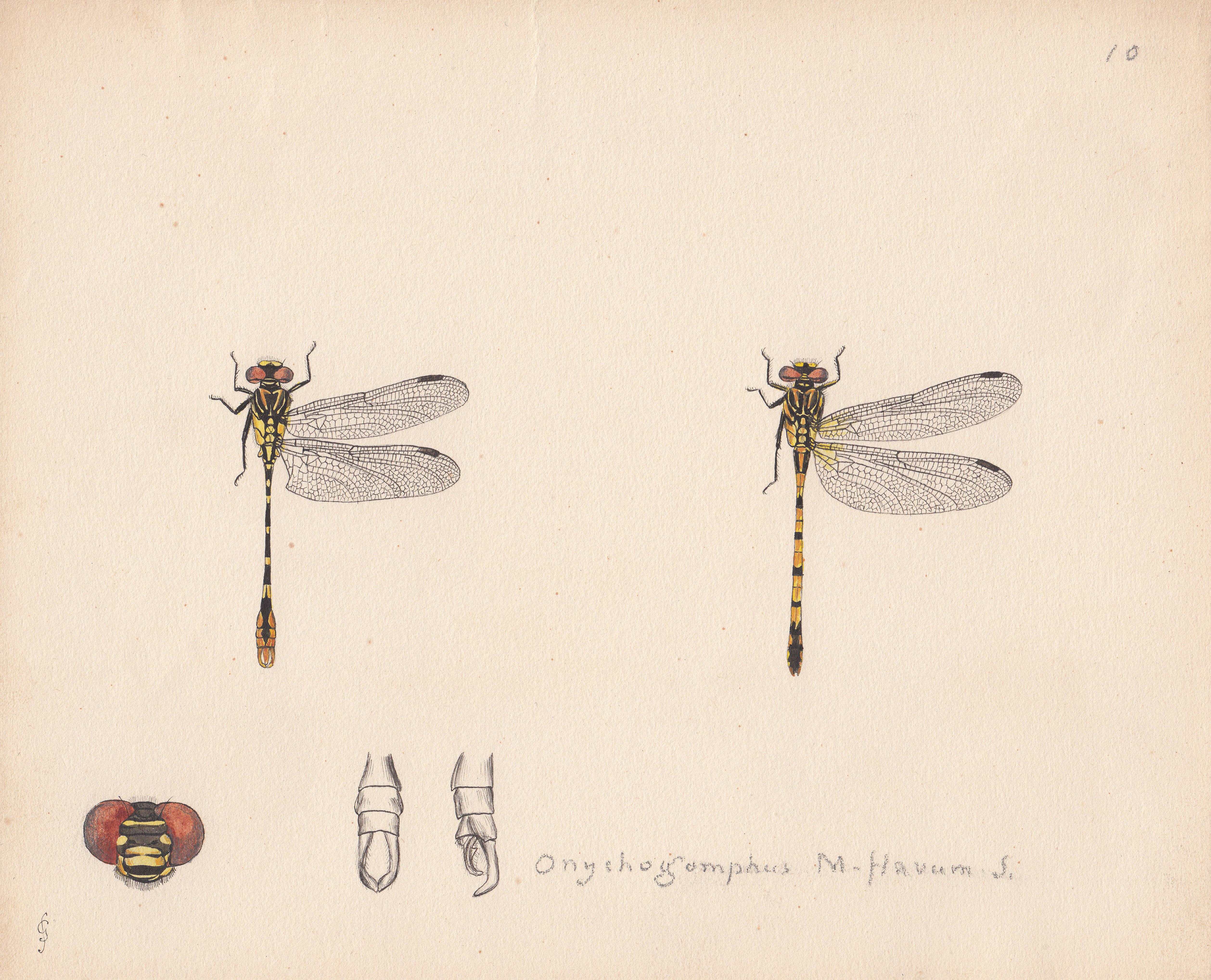 Onychogomphus m-flavum.jpg