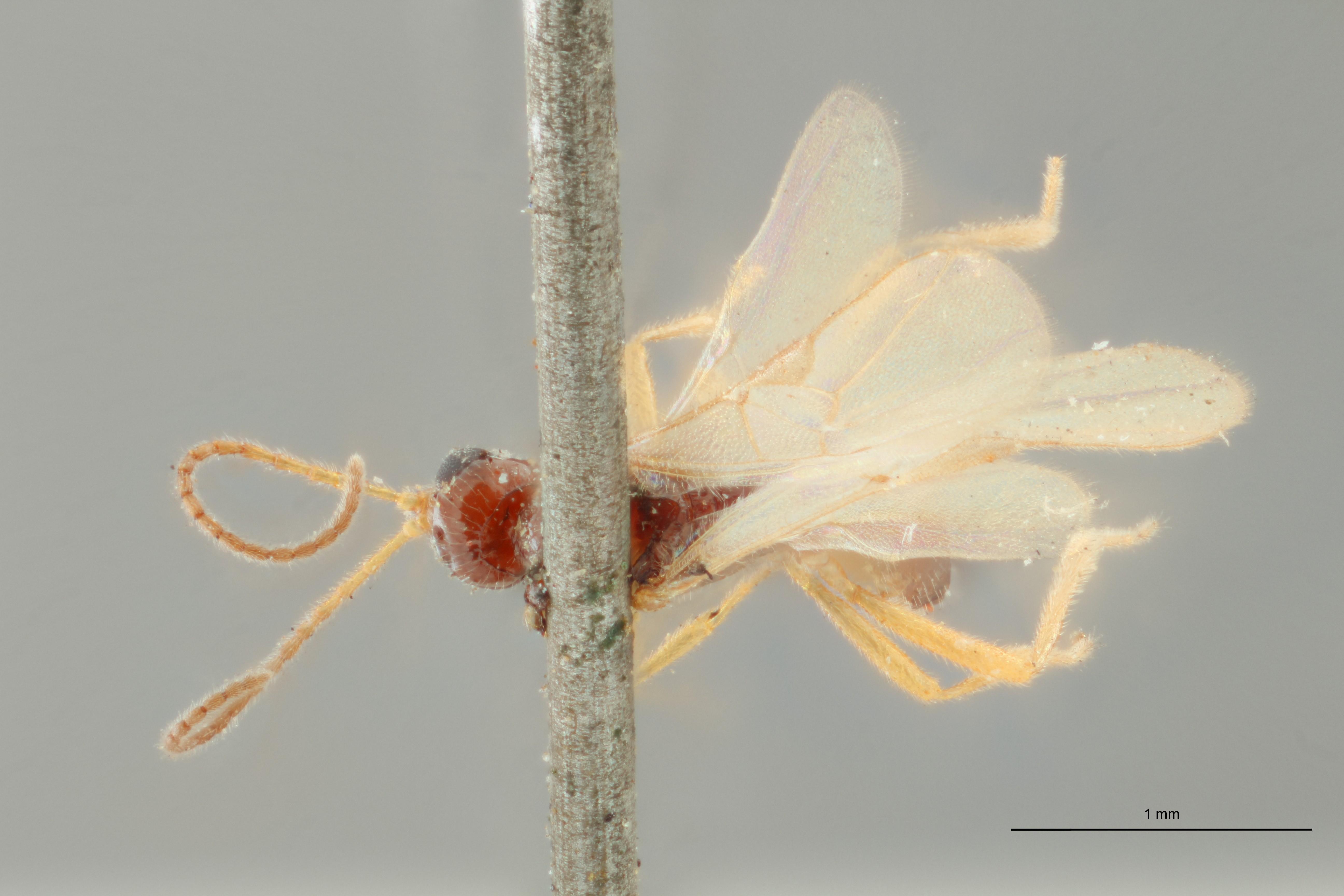 Blacus (Ganychorus) conformis plt D ZS PMax Scaled.jpg