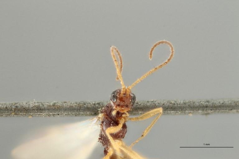 Blacus (Ganychorus) conformis plt F ZS PMax Scaled.jpg