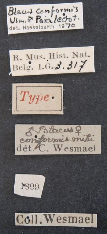 Blacus (Ganychorus) conformis plt Lb.JPG