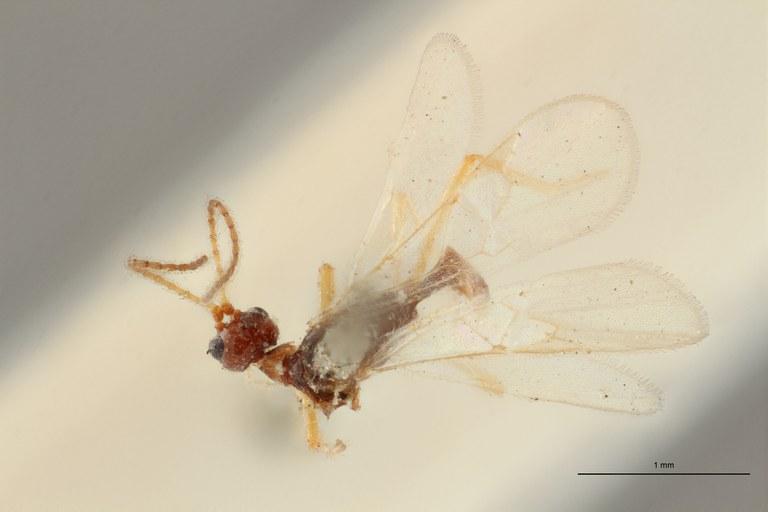 Blacus (Ganychorus) conformis lct D ZS PMax Scaled.jpg