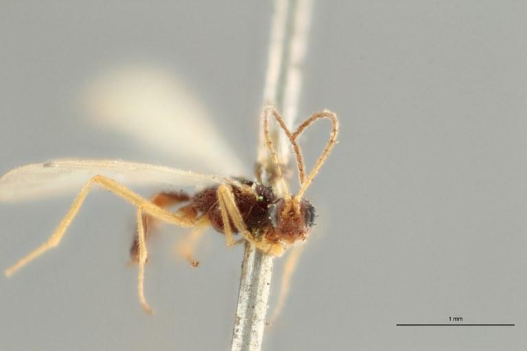 Blacus (Ganychorus) conformis lct F ZS PMax Scaled.jpg
