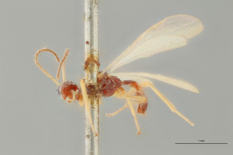 Blacus (Ganychorus) conformis lct L ZS PMax Scaled.jpg