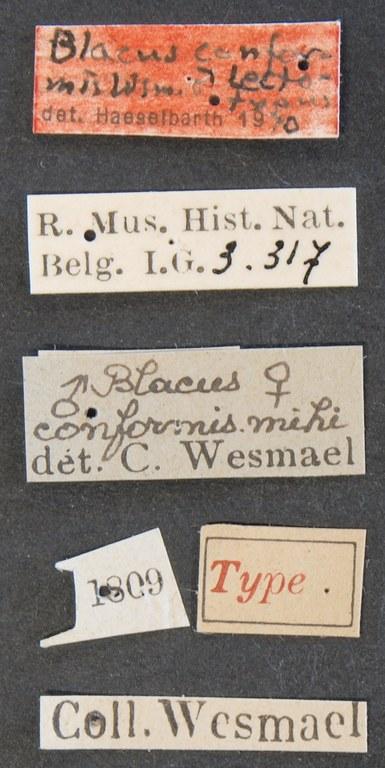 Blacus (Ganychorus) conformis lct Lb.JPG