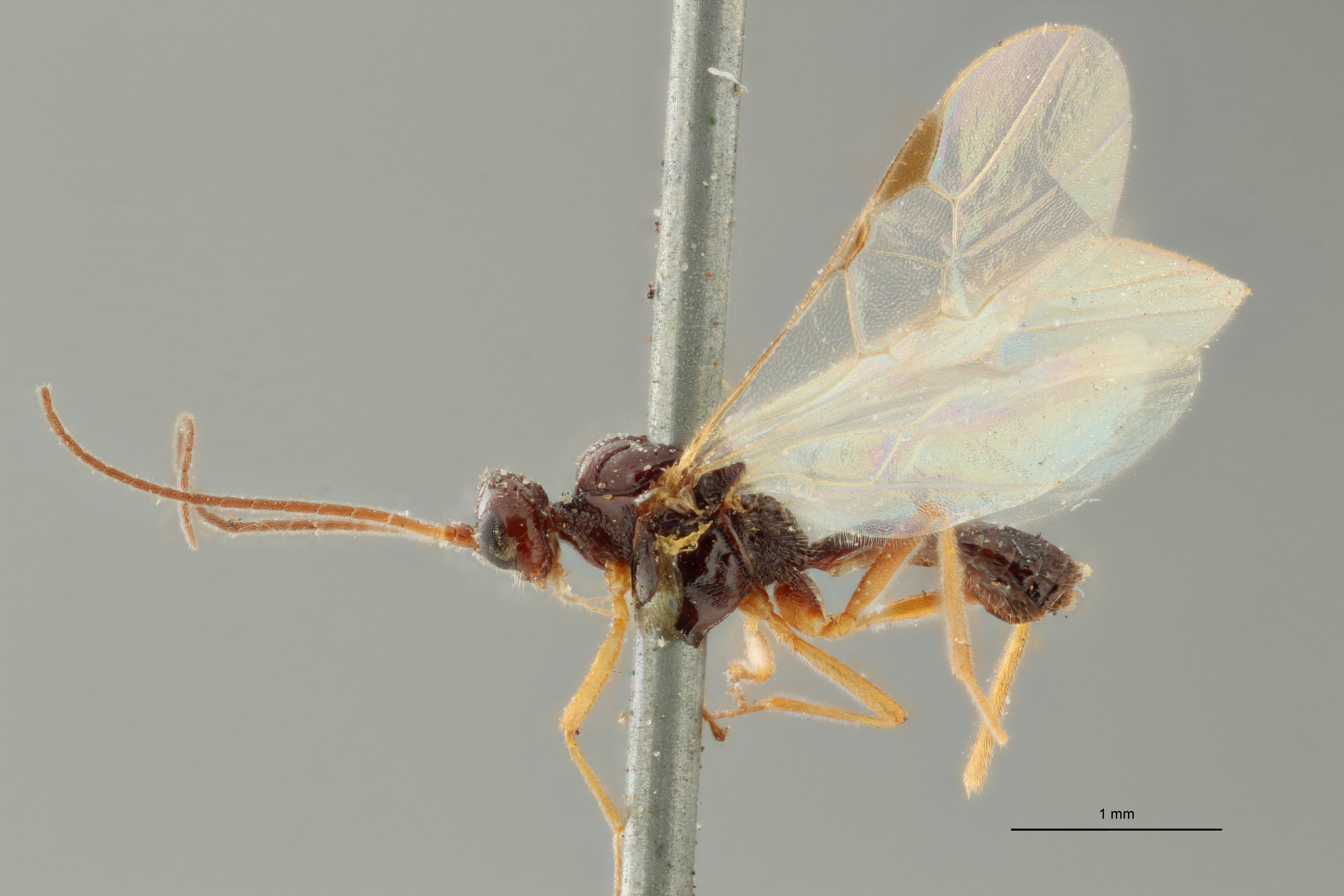 Blacus (Ganychorus) maculipes plt L ZS PMax Scaled.jpg