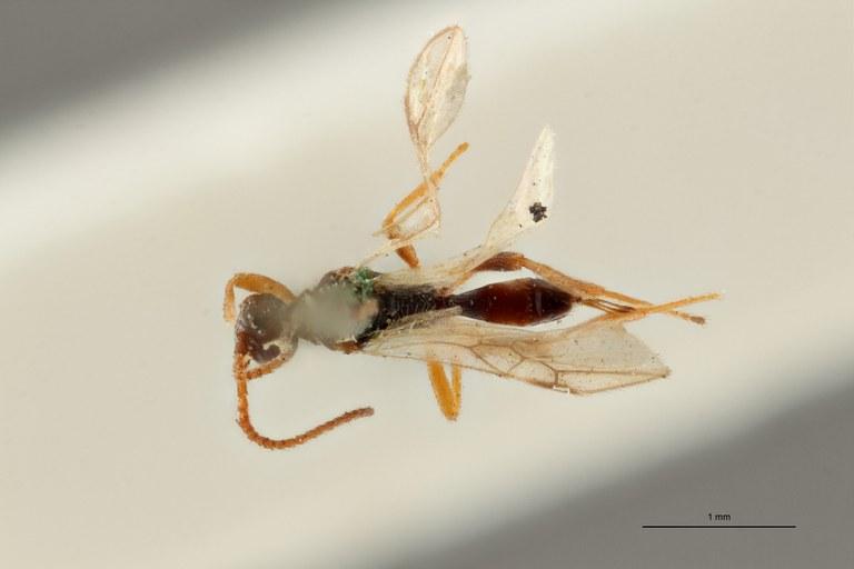 Blacus (Ganychorus) maculipes lct D ZS PMax Scaled.jpg