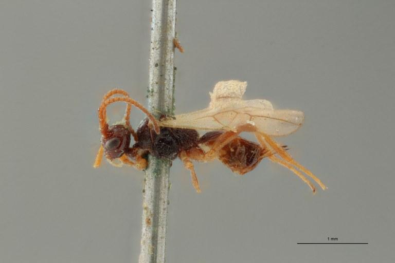 Blacus (Ganychorus) maculipes lct L ZS PMax Scaled.jpg