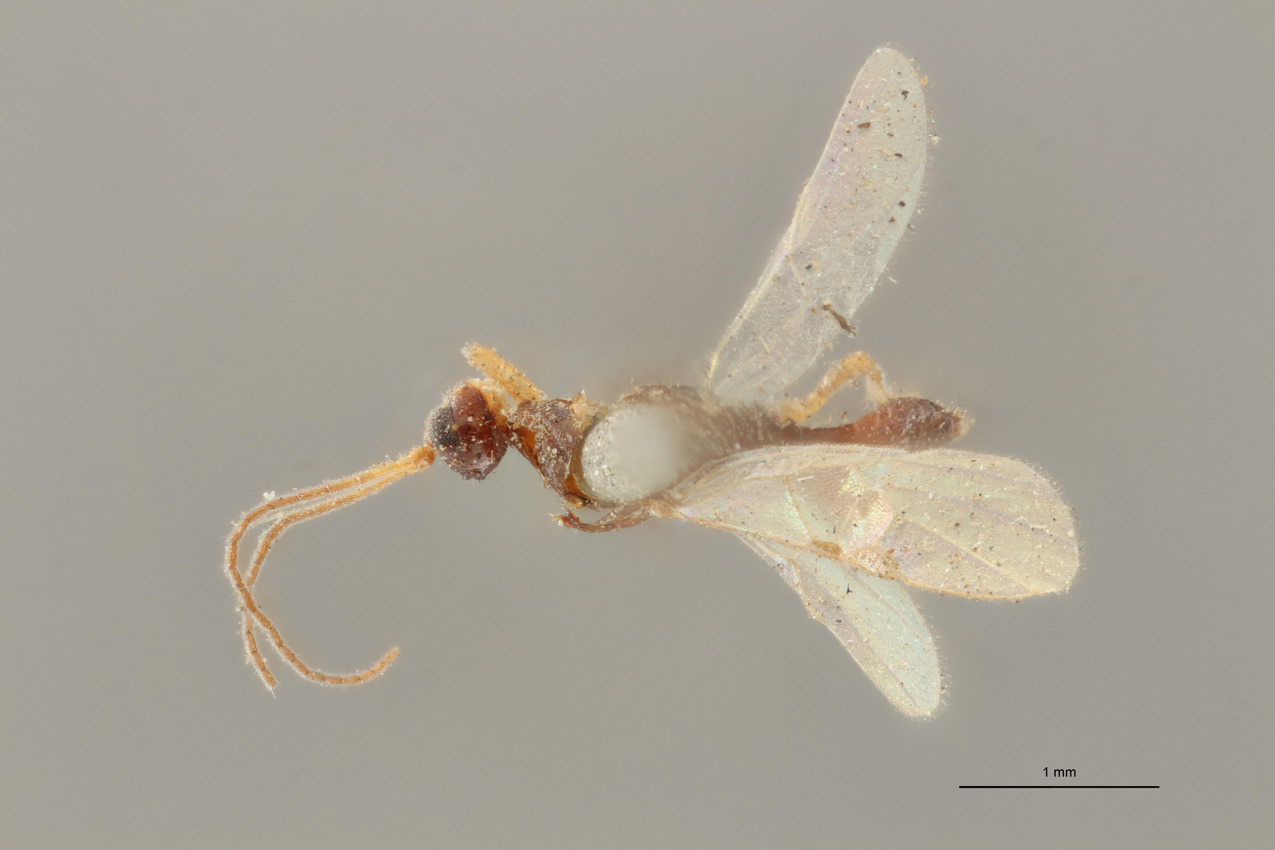 Blacus (Ganychorus) ruficornis typ D ZS PMax Scaled.jpg