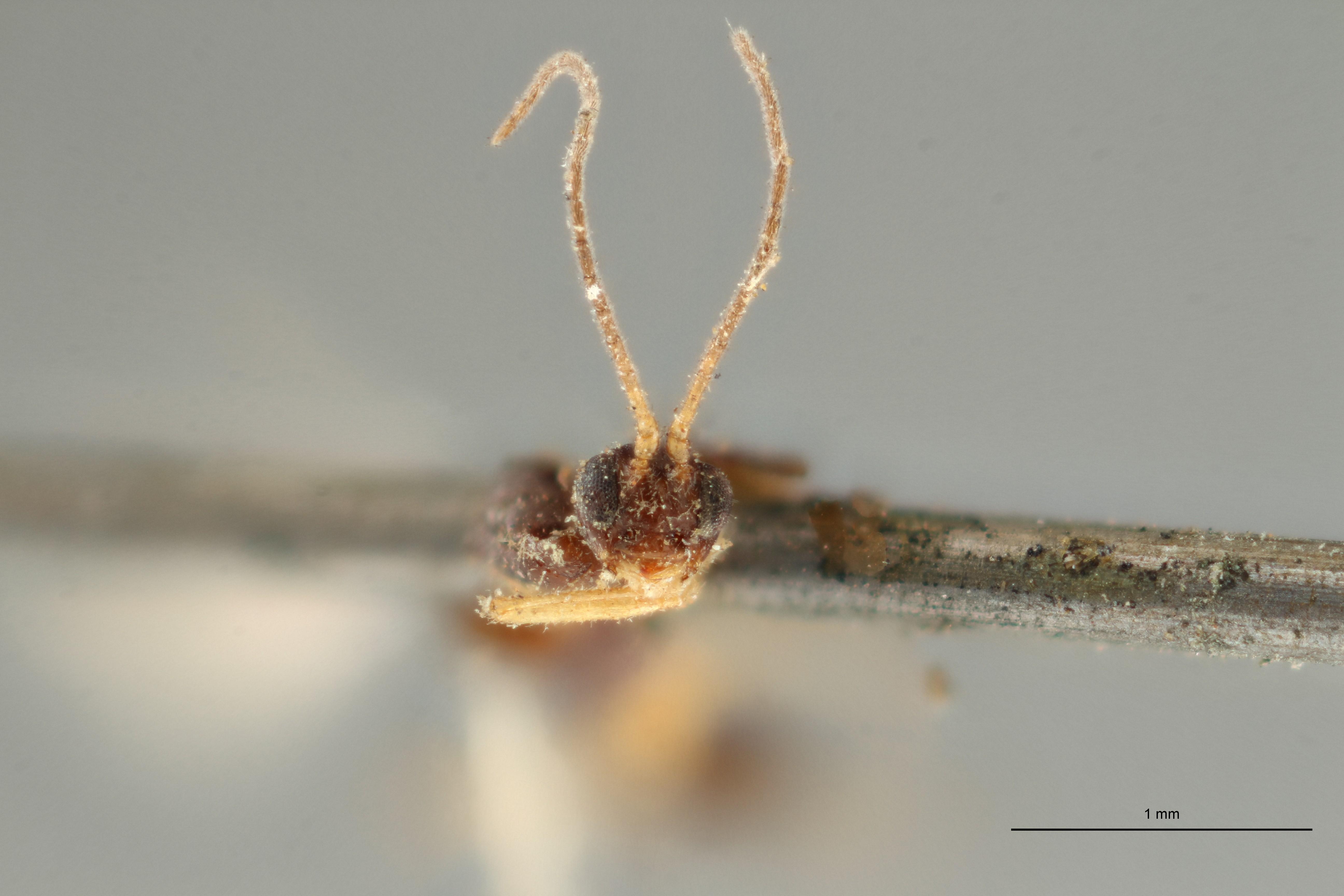 Blacus (Ganychorus) ruficornis typ F ZS PMax Scaled.jpg