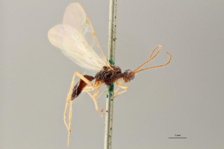 Blacus (Ganychorus) tuberculatus typ L ZS PMax Scaled.jpg