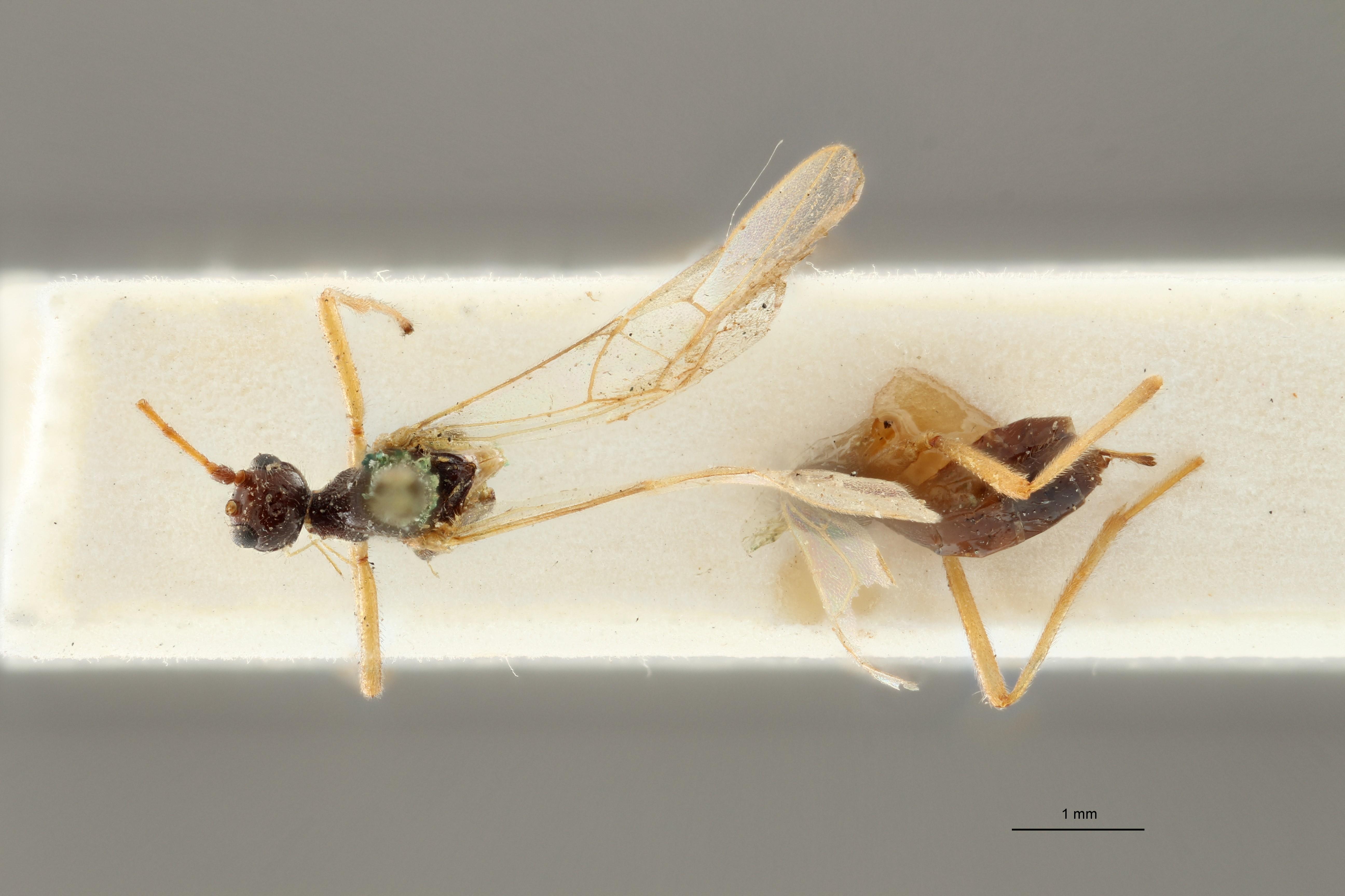 Blacus (Ganychorus) tuberculatus lct D ZS PMax Scaled.jpg