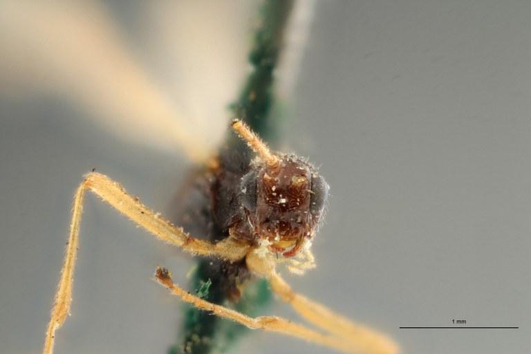 Blacus (Ganychorus) tuberculatus lct F ZS PMax Scaled.jpg