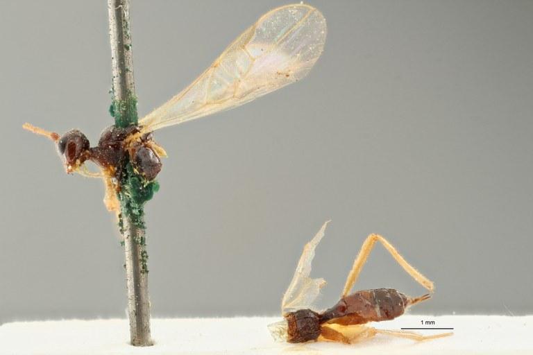 Blacus (Ganychorus) tuberculatus lct L ZS PMax Scaled.jpg