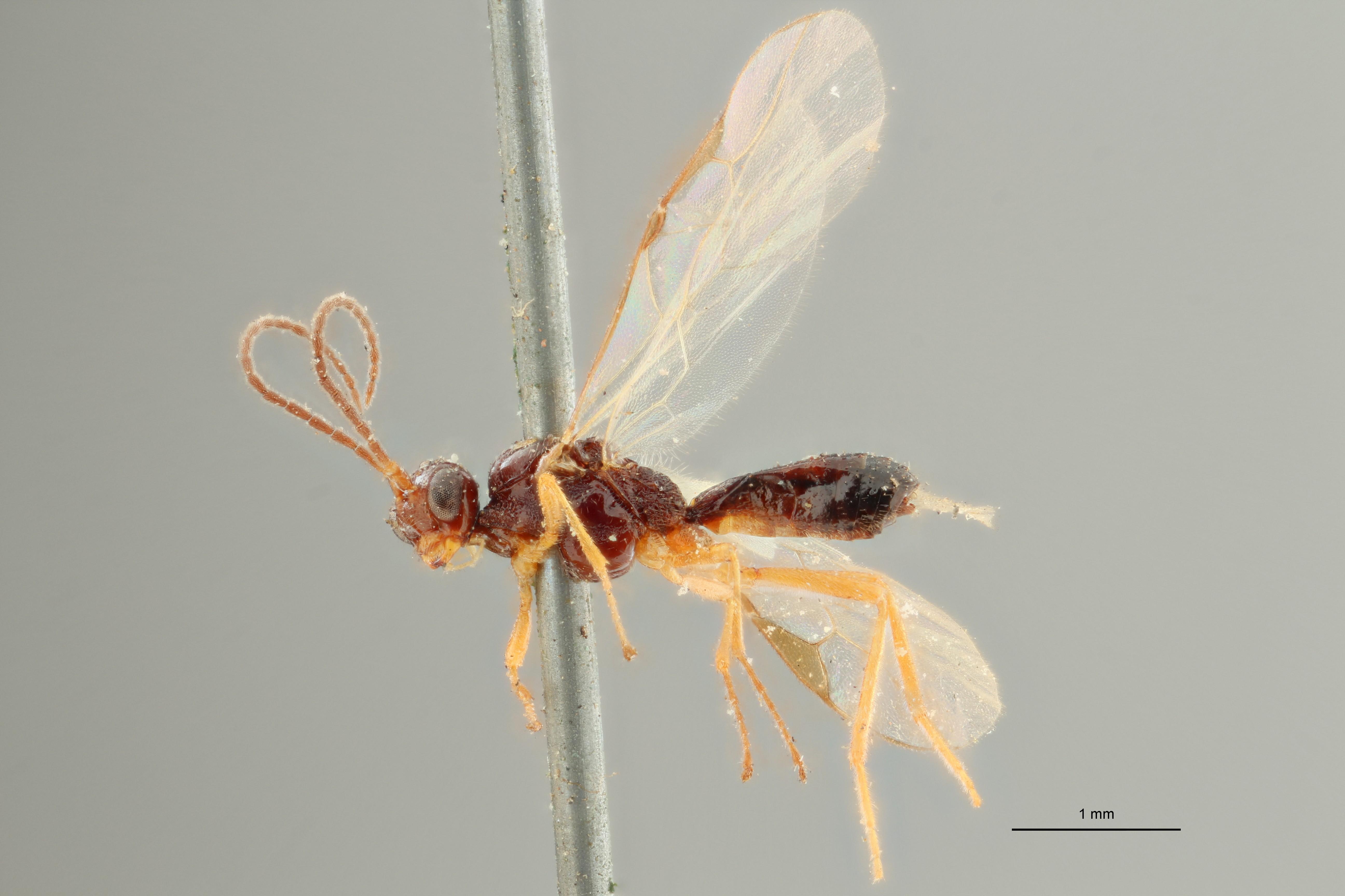 Blacus humilis typ L ZS PMax Scaled.jpg