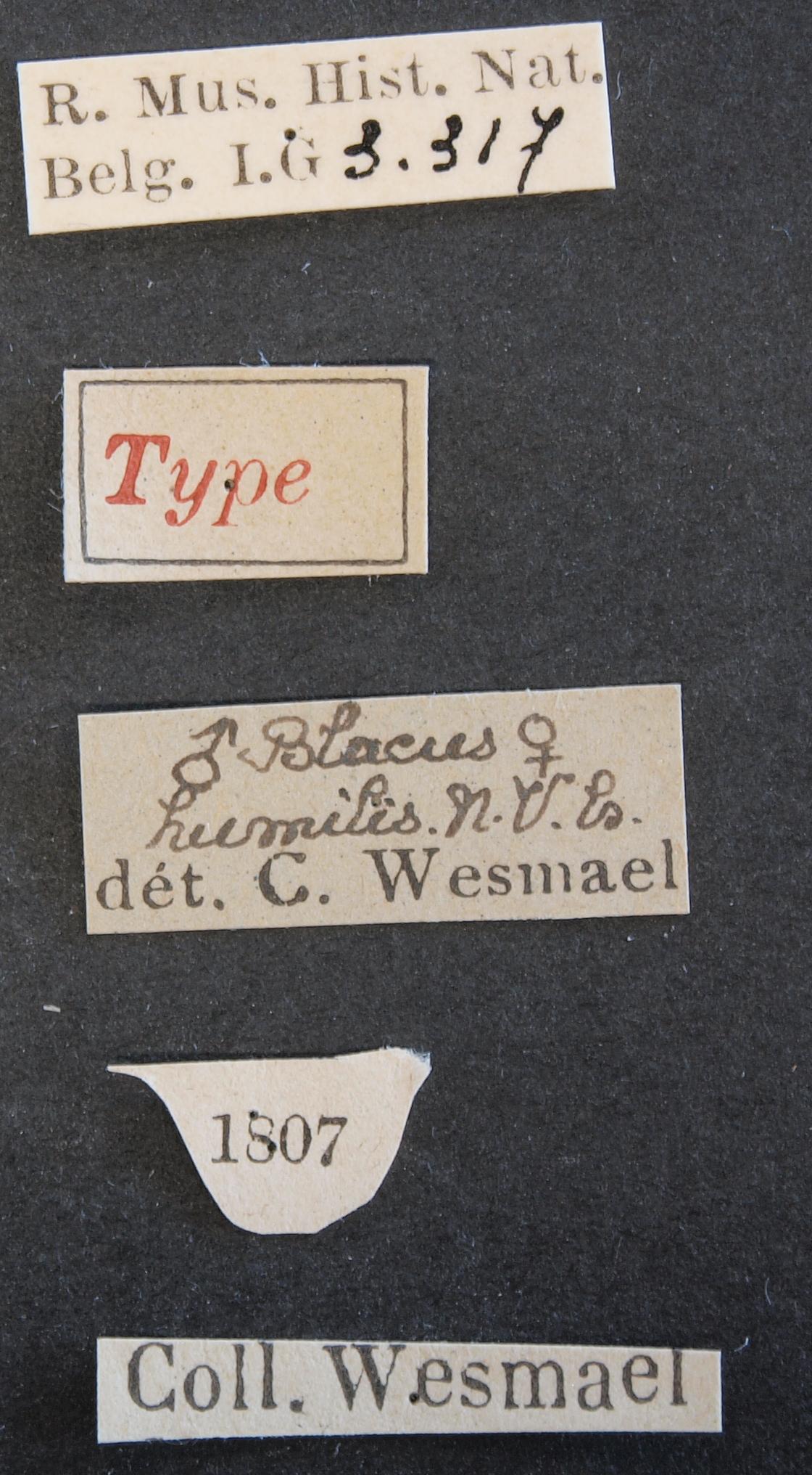 Blacus humilis typ Lb.JPG