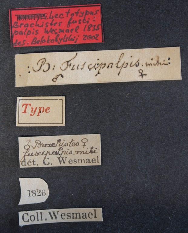Brachistes fuscipalpis lectotype Lb.JPG