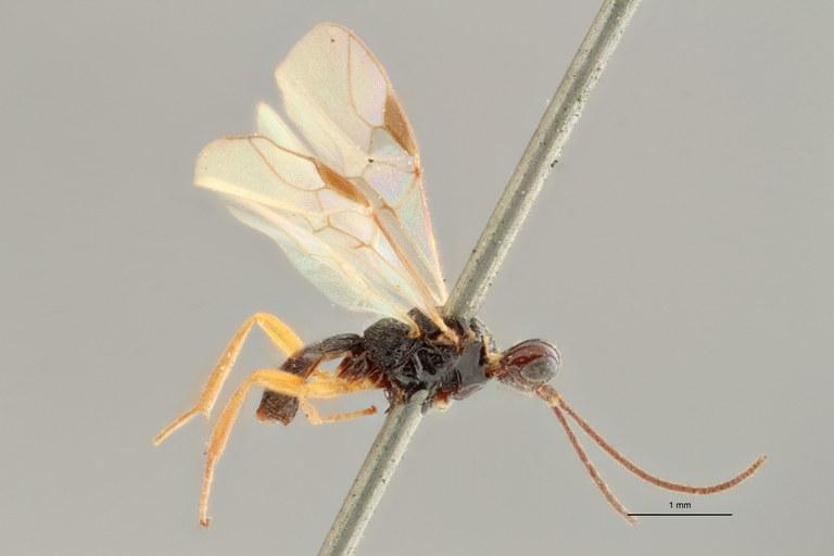 Brachistes nigricoxis lct L ZS PMax Scaled.jpg