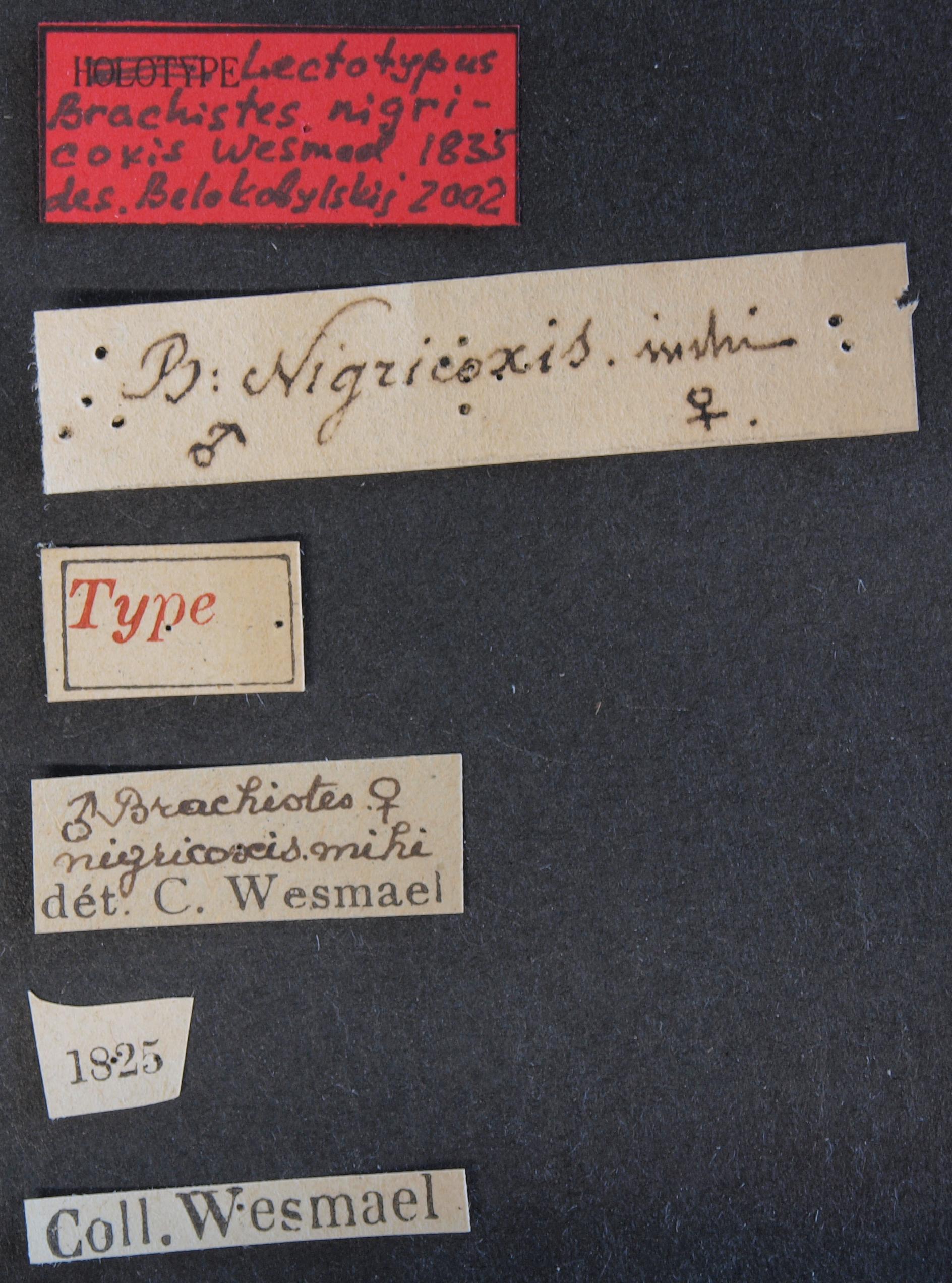 Brachistes nigricoxis lct Lb.JPG