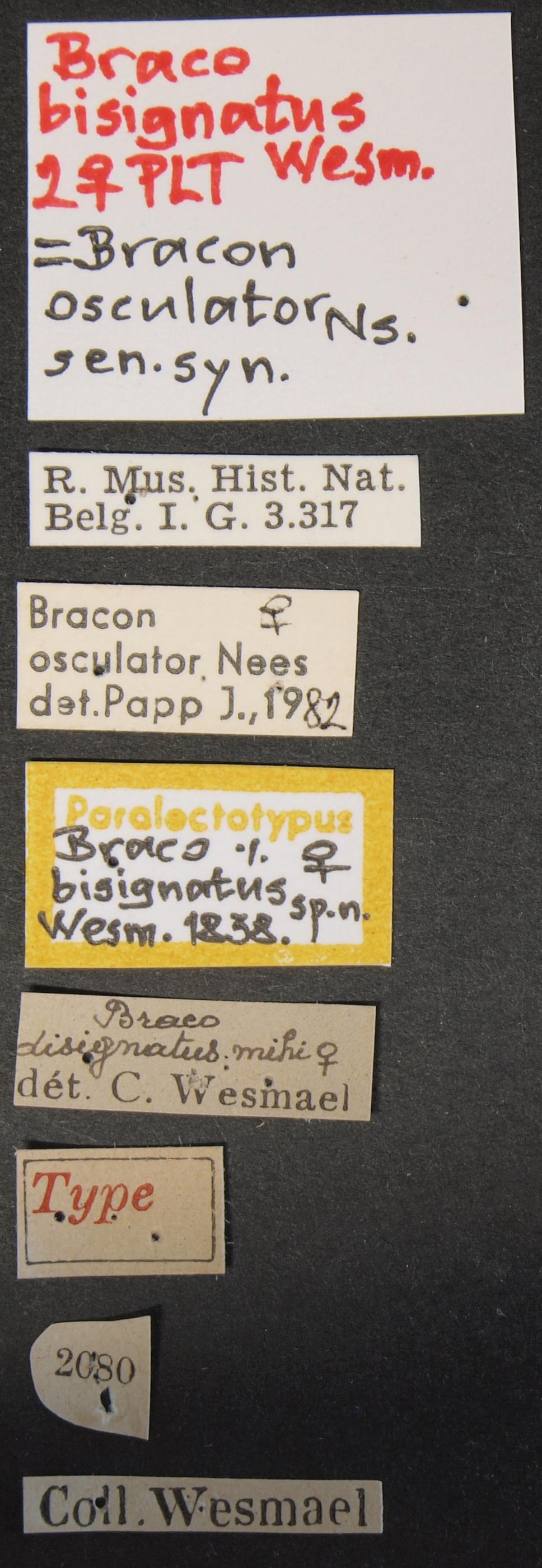 Braco bisignatus plt Lb.JPG