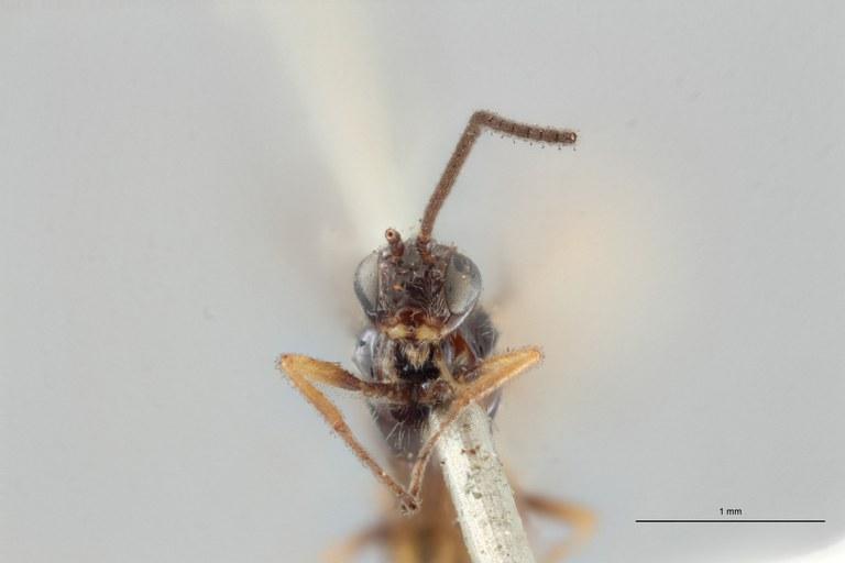 Braco bisignatus lct F ZS PMax.jpg