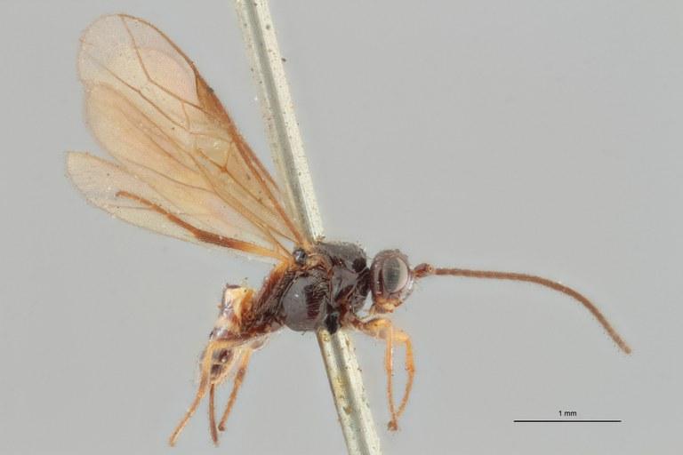 Braco bisignatus lct L ZS PMax.jpg
