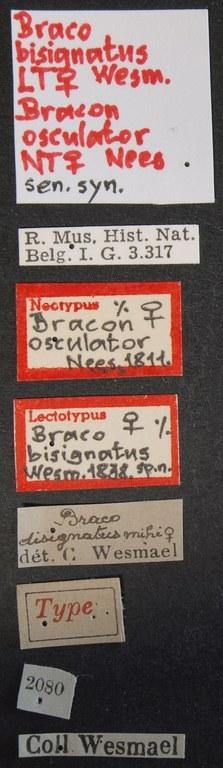 Braco bisignatus lct Lb.JPG