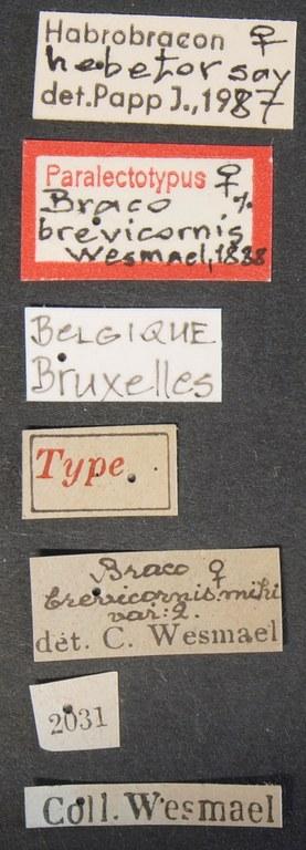 Bracon brevicornis plt Lb.JPG