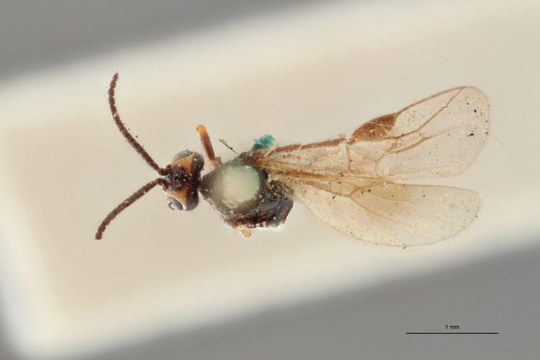 Bracon brevicornis lct D ZS PMax.jpg