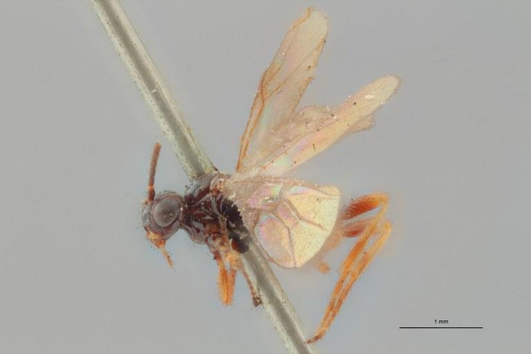 Braco fuscipennis plt L ZS PMax.jpg