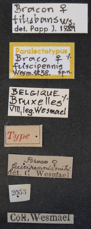 Braco fuscipennis plt Lb.JPG