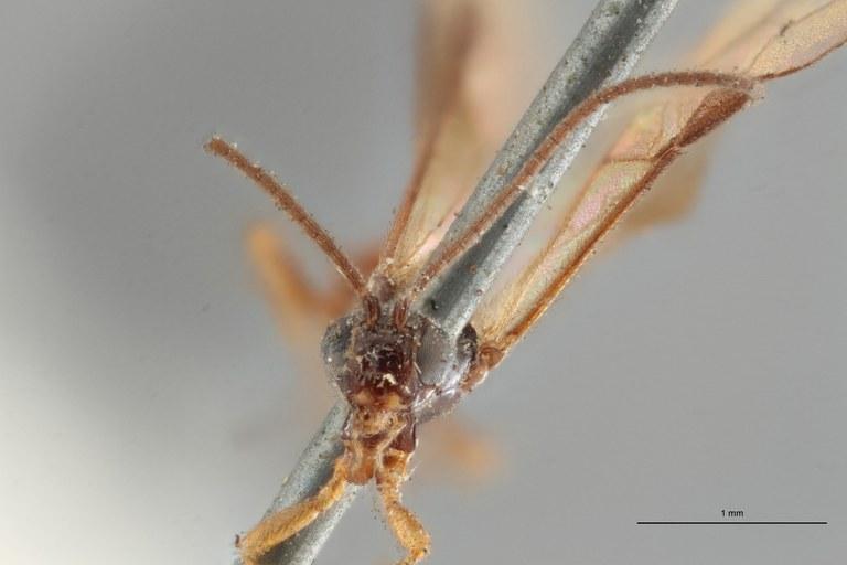 Braco fuscipennis lct F ZS PMax.jpg