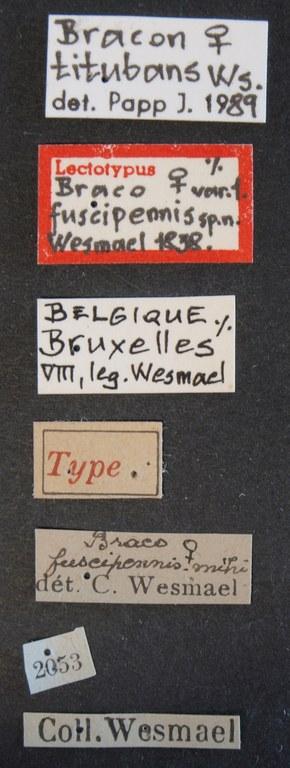 Braco fuscipennis lct Lb.JPG