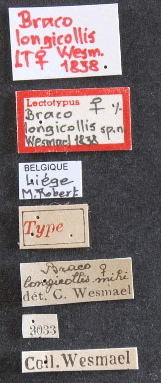 Braco longicollis lct Lb.JPG