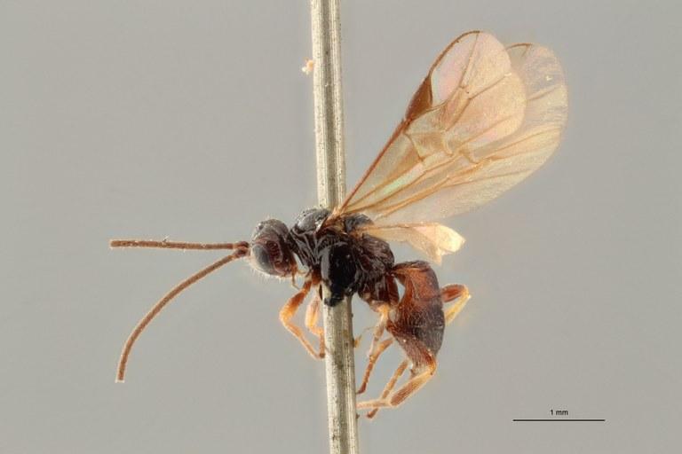 Braco nigratus plt L ZS PMax.jpg