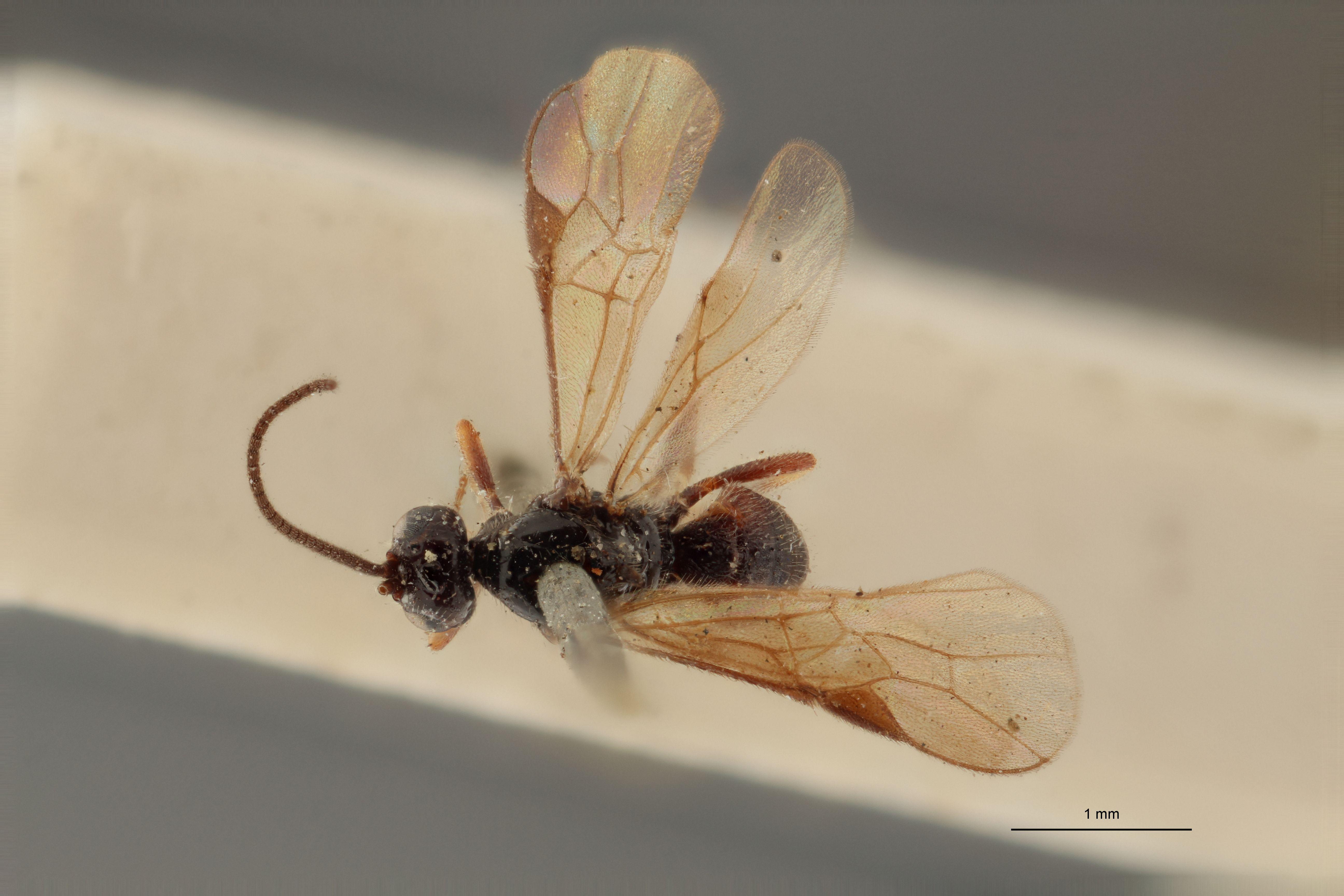 Braco nigratus lct D ZS PMax.jpg