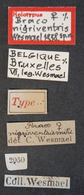Braco nigriventris ht Lb.JPG
