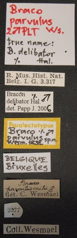 Bracon parvulus plt Lb.JPG
