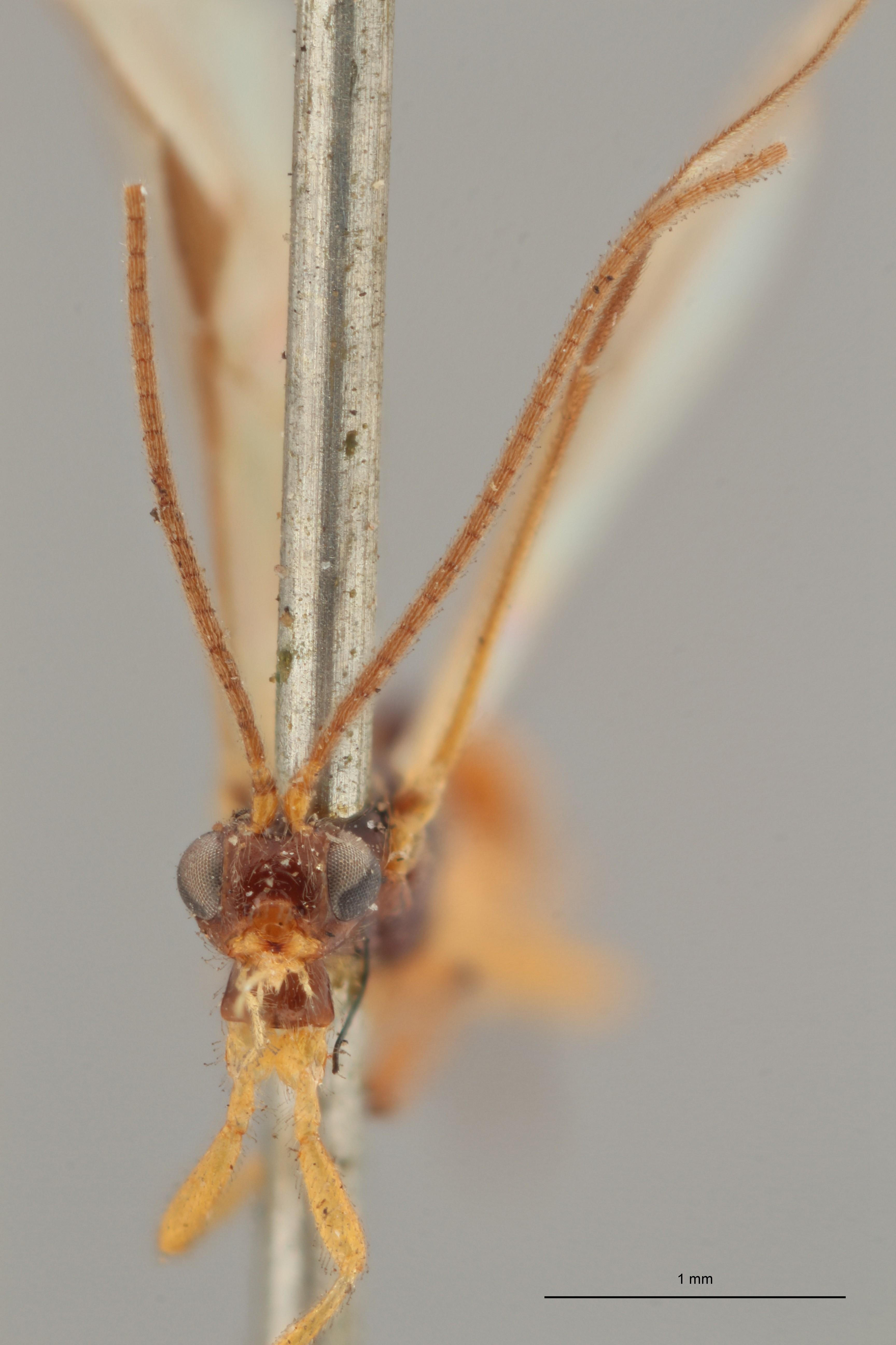 Braco picticornis lct F ZS PMax.jpg