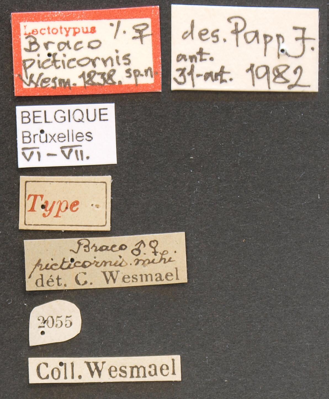 Braco picticornis lct Lb.JPG