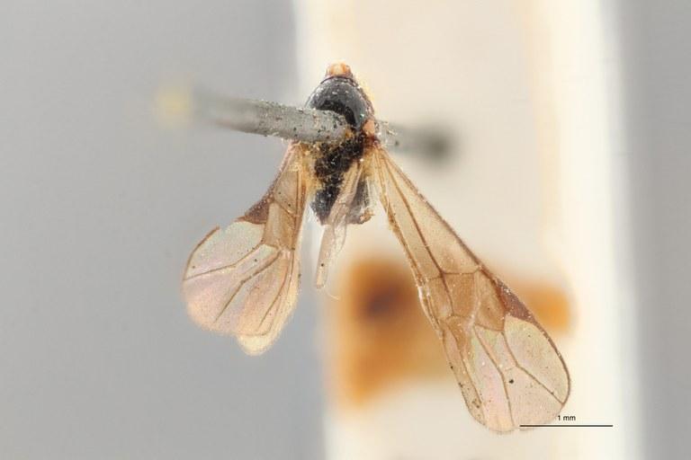 Braco subcylindricus ht D ZS PMax.jpg