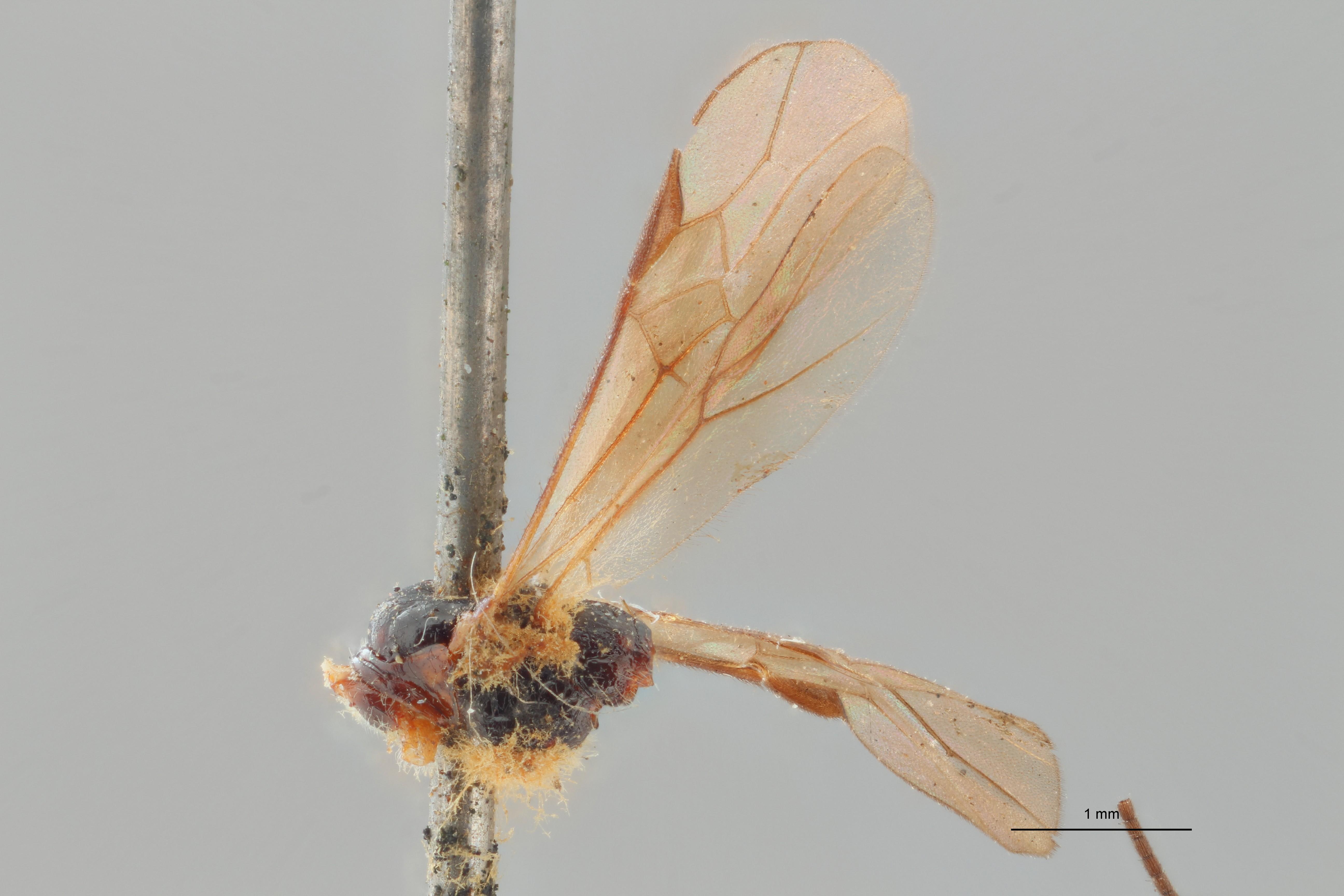 Braco subcylindricus ht L ZS PMax.jpg